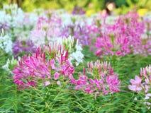 Spider flower - Cleome spinosa. In the garden Stock Photos