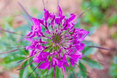Spider Flower Royalty Free Stock Photo