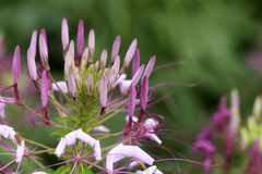 Spider flower or cleome spinosa in the park / garden Stock Photo