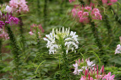 Spider flower or cleome spinosa in the park / garden Royalty Free Stock Photos