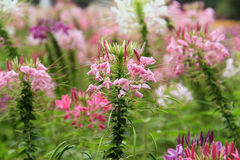 Spider flower or cleome spinosa in the park / garden Royalty Free Stock Images