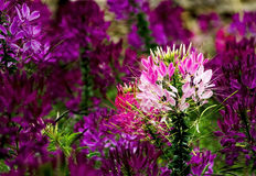 Spider Flower. Close-up of Pink Spider Flower Cleome spinosa. Blur Blackground with Out of Focus Royalty Free Stock Image