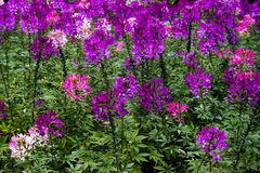 Spider Flower. Close-up of Pink Spider Flower Cleome spinosa. Blur Blackground with Out of Focus Royalty Free Stock Photos