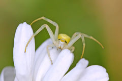 Spider on the flower Royalty Free Stock Image