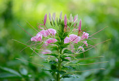 Spider Flower flower (Cleome spinosa) Stock Images