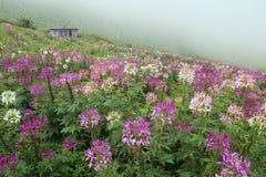 Spider flower garden Stock Photos