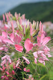 SPIDER FLOWER. Spider has a pinkish white flowers planted as an ornamental garden Stock Images