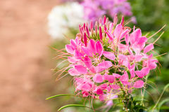 Spider flower Royalty Free Stock Photography