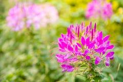 Spider flower Stock Photos