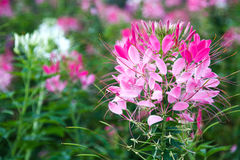 Spider flower Royalty Free Stock Images