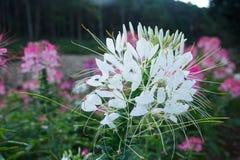 Spider flower Stock Image