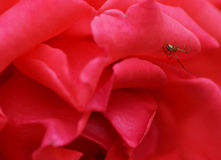 Spider on a flower roses. Royalty Free Stock Images