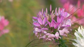 Spider flower shaking with the wind stock video footage