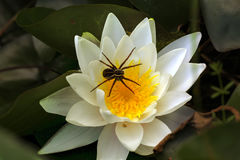 Spider on a flower. Royalty Free Stock Photo