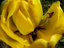 The spider in the flower. The spider in the tulip flower Stock Image