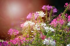 Spider flower. Vintage Spiny spider flower and sunlight summer Stock Photos