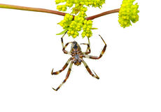 Spider on flowers 1 Royalty Free Stock Photography