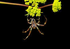 Spider on flowers 2 royalty free stock photos