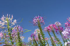 Spider flowers  against the blue sky. Stock Photos