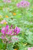 Spider flowers. Full blown spider flowers in garden Stock Photos