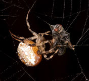 Spider and fly. Stock Photo