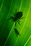 Spider and fly. Face to face on the leaf counter light Royalty Free Stock Photos