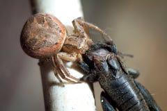 Spider and the Fly. Arthropoda. Arachnida Araneae  Araneomorphae  Pisauridae  Dolomedes fimbriatus Stock Photo