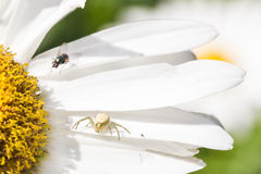 Spider and fly  close up on chamomile, macro view. Stock Photos