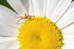 Spider and fly  close up on chamomile, macro view. Royalty Free Stock Photos