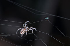 Spider and fly on dark background Stock Photo