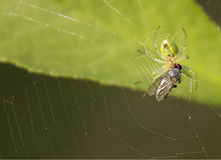 Spider and fly. Stock Image
