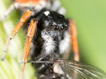 Spider with a fly in nature. macro.  Royalty Free Stock Photos