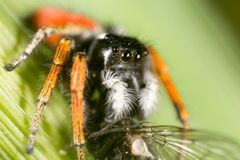 Spider with a fly in nature. macro.  Royalty Free Stock Images