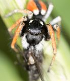 Spider with a fly in nature. macro.  Stock Photography