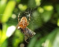 Spider with fly in the orb. Orb spider Araneus spins a fly Stock Photography