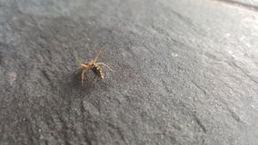 Spider with fly. A scared or aggressive spider with a fly on stone Stock Images