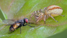 Spider and fly stare down. A jumping spider is staring directly into the eyes of a housefly Stock Photos