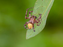 Spider. The four-spot orb-weaver (Araneus quadratus) is a common orb-weaver spider found in Europe stock photo