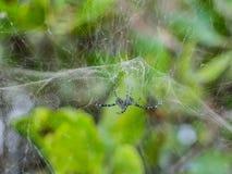 Spider in front garden,black spider. stock photo