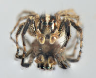 Spider in the front Royalty Free Stock Images