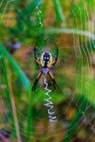 Spider garden-spider Araneus type of spider araneomorphae from the spider family. Orb-web Araneidae Royalty Free Stock Image