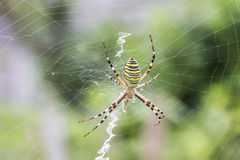Spider in a garden Royalty Free Stock Photo