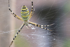 Spider in a garden Royalty Free Stock Photos