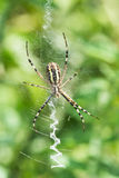 Spider in a garden Royalty Free Stock Images