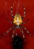 Spider Stock Photography