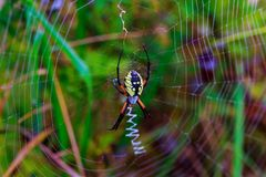 Spider garden-spider Araneus type of spider araneomorphae from the spider family Stock Images
