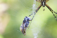Spider the garden spider and its victim Royalty Free Stock Photos