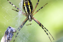 Spider the garden spider and its victim Royalty Free Stock Image
