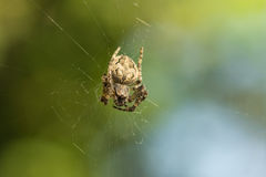 Spider garden-spider lat. Araneus of the genus araneomorph spiders of the family of Orb-web spiders lat. Araneidae on web purs Stock Photography