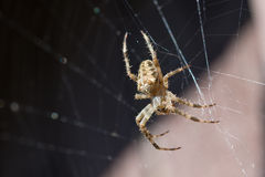 Spider garden-spider lat. Araneus in the web Stock Photography